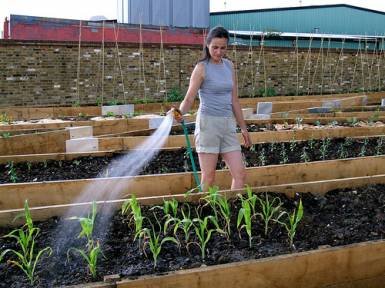 Dasha+watering+the+sweetcorn